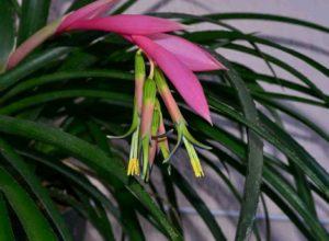 Правильный уход за растением Бильбергия в домашних условиях