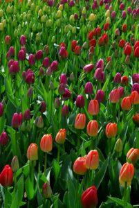Тюльпаны: посадка, уход и выращивание
