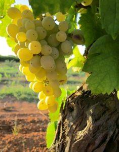 Выращивание винограда: секреты опытных садоводов