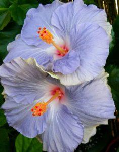 Гибискус: выращивание и уход в домашних условиях