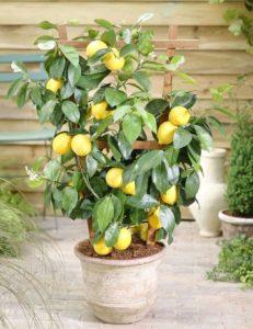 Почему опадают листики у лимона и как с этим бороться